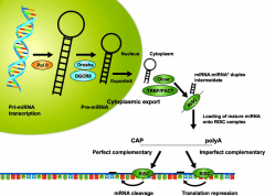MicroRNA Help Us Understand Many Important Life Processes