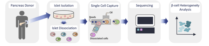 Graphical workflow for large-scale single-cell RNA sequencing of human islet cells
